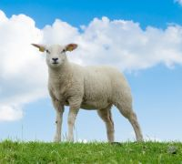 White sheep - transformed by Christ